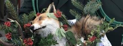 Koszyk z martwym lisem na pielgrzymce myśliwych.