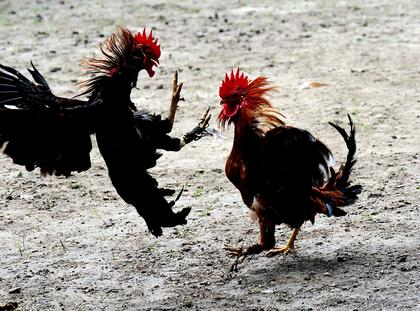Cock fight at Nabila village
