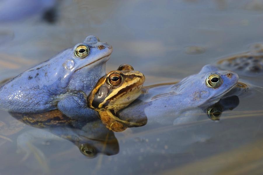 Moorfrosch, Moor-Frosch, Rana arvalis, moor frog