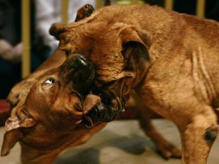 Japońska Jakuza kontroluje walki psów. A gra idzie o naprawdę duże pieniądze
