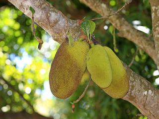Owoc, który smakuje jak wieprzowina. Czy dżakfrut zlikwiduje światowy głód?