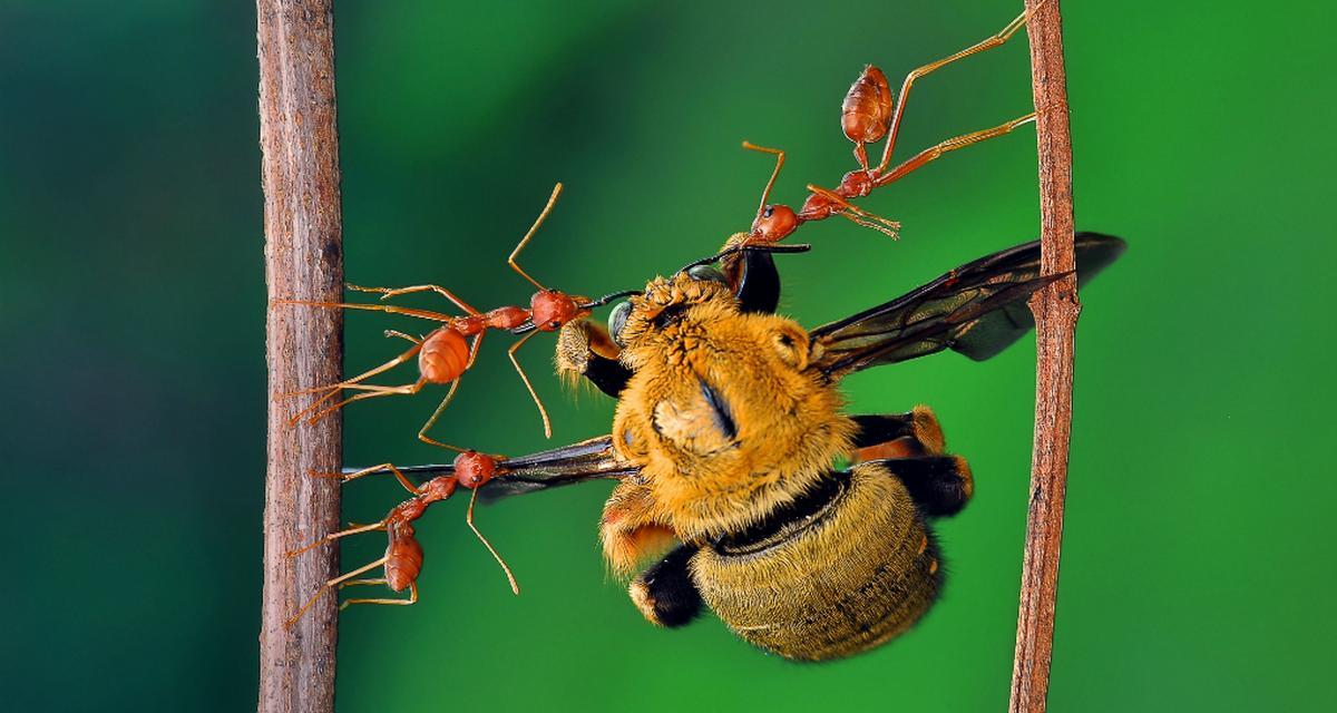Mrówcze smakołyki