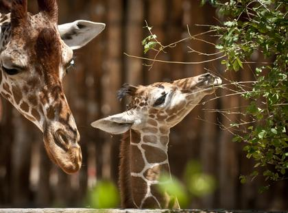 żyrafa żyrafy zoo zwierzęta