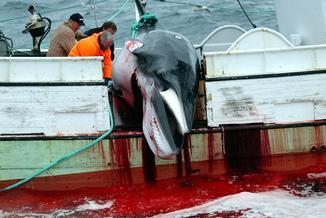 Czy Norwegia zaprzestanie rzezi wielorybów? Żąda tego ponad milion ludzi