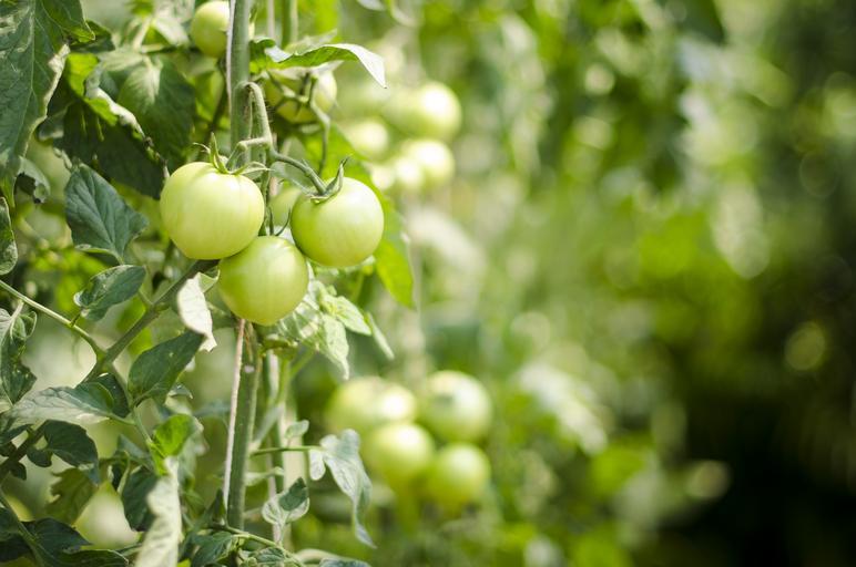 pomidory zieleń wiosna