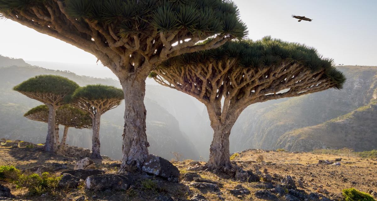 Drzewa smoczejkrwi