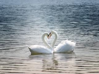 Ślubuję ci miłość, czyli niezwykła wierność łabędzi