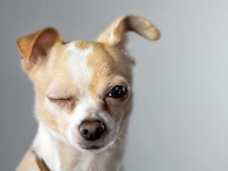 Moda sprawia, że psy stają się kalekami