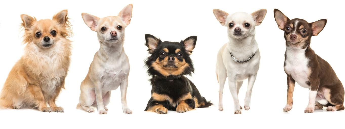 Chihuahua psy pies
