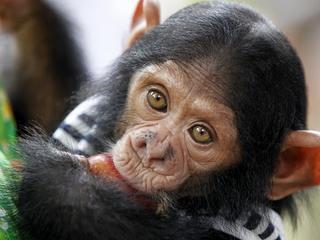 Czym różnimy się od szympansów?