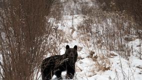 Obława na uciekającego niedźwiadka