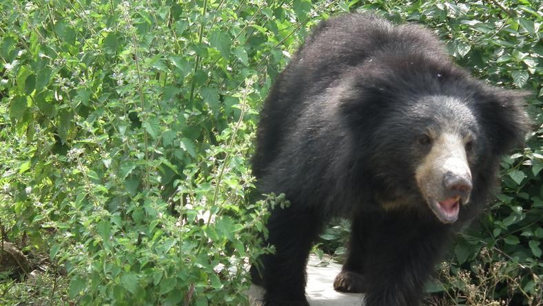 Az ajakos medve megölte a természetvédelmi őrt is / Illusztráció: Wikipédia