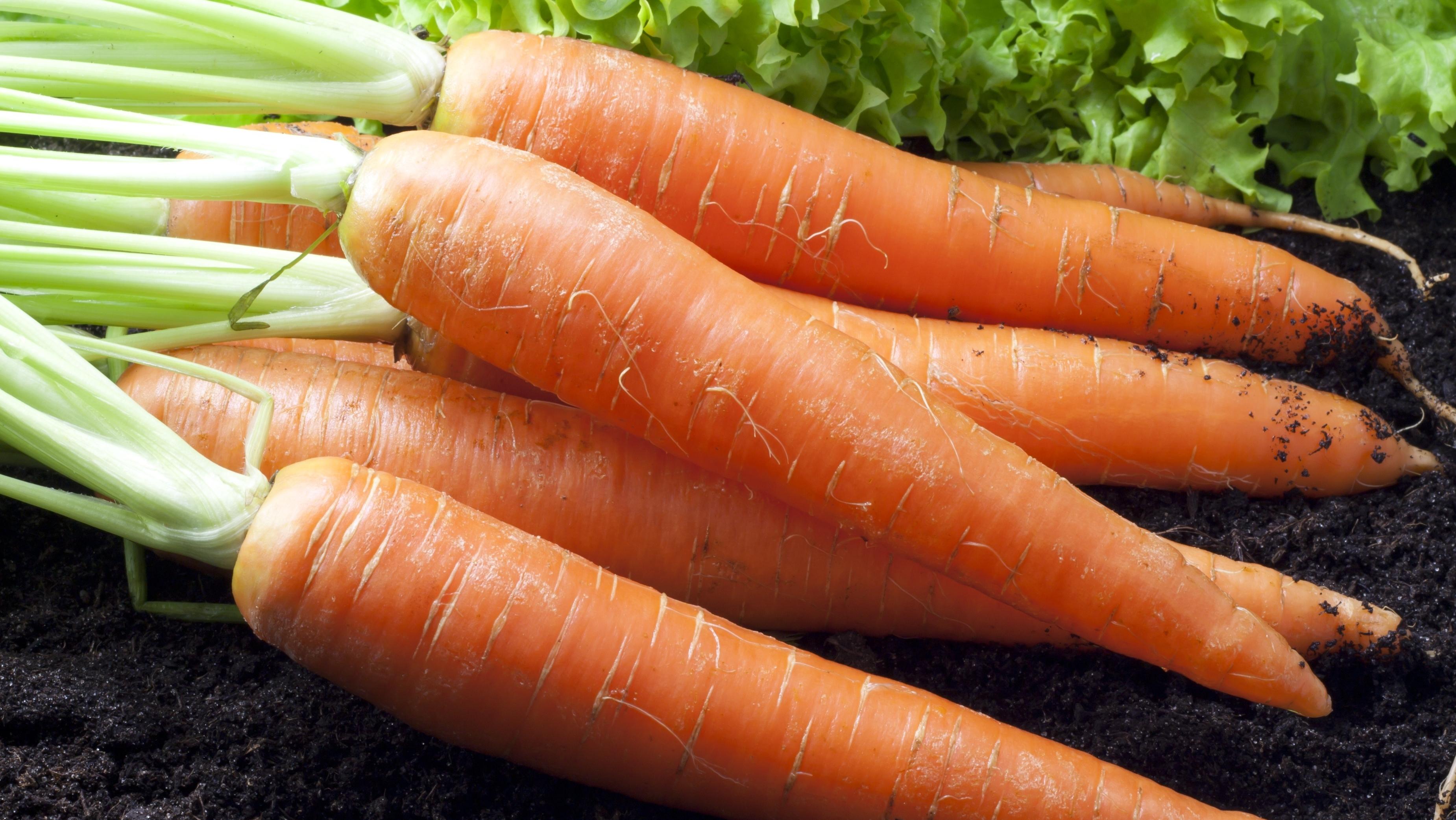 Морковь: выращивание, посадка и уход. Сорта моркови 660