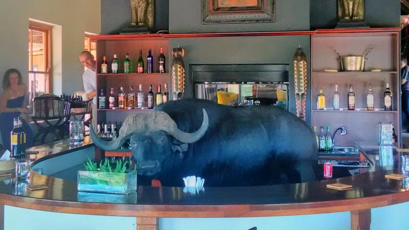 Fáradt bivaly egy amerikai bárban / Fotó: Profimedia-Reddot