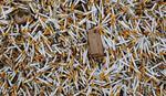 Niške cigarete poskupele deset dinara