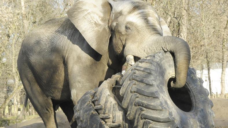 Elképesztő látvány, ahogy az 5,5 tonnás elefánt dobálja a 600 kilós traktorgumikat / Fotó: Sóstózoo