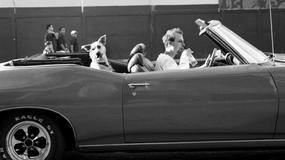 Bezpieczeństwo psa w aucie