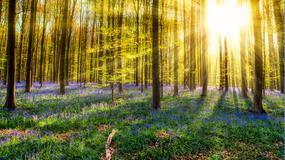 Miliony błękitnych kwiatów w baśniowym lesie Hallerbos