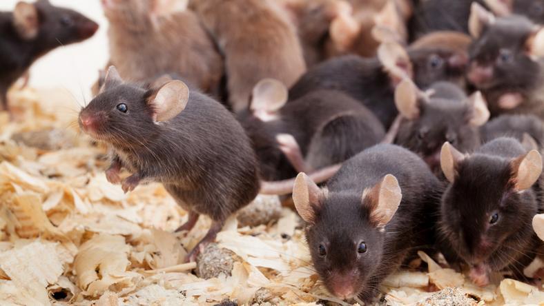 Ilyen patkányokból lesz az új fegyver /Fotó: Northfoto