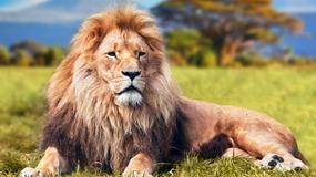 Niesamowite nagranie. Turystka została zaskoczona przez trzy lwy