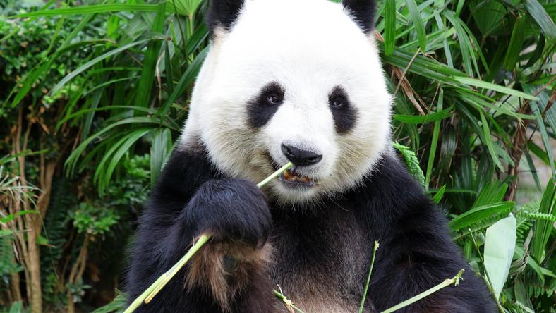 Találja meg a pandát a képen! /Fotó: Northfoto