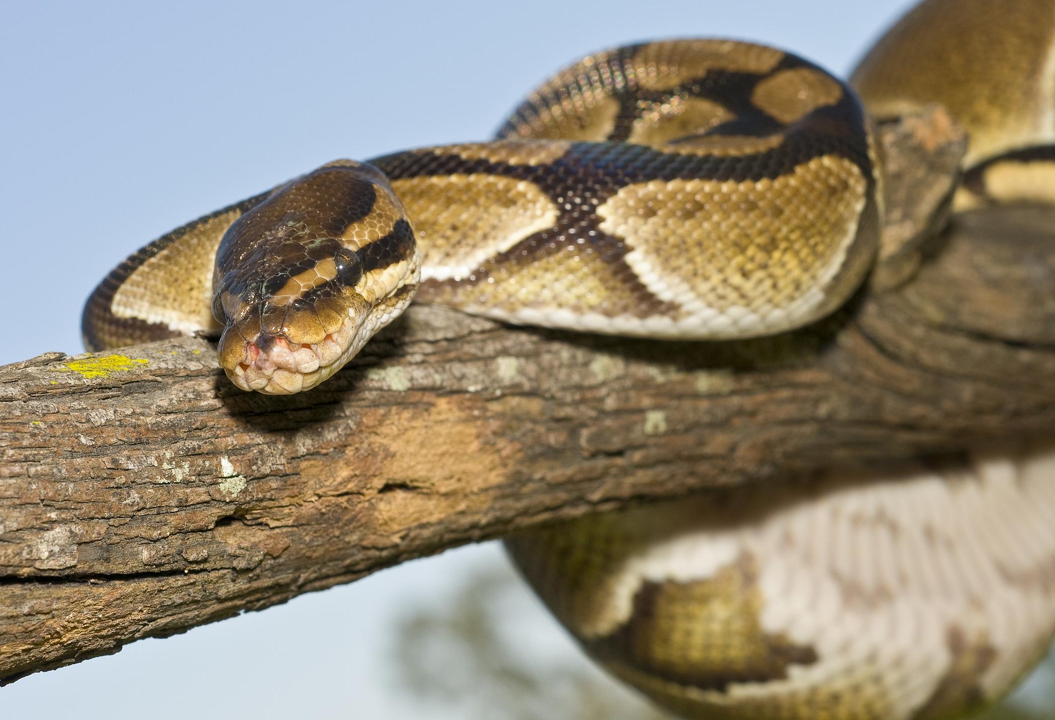 kígyó fogyás)