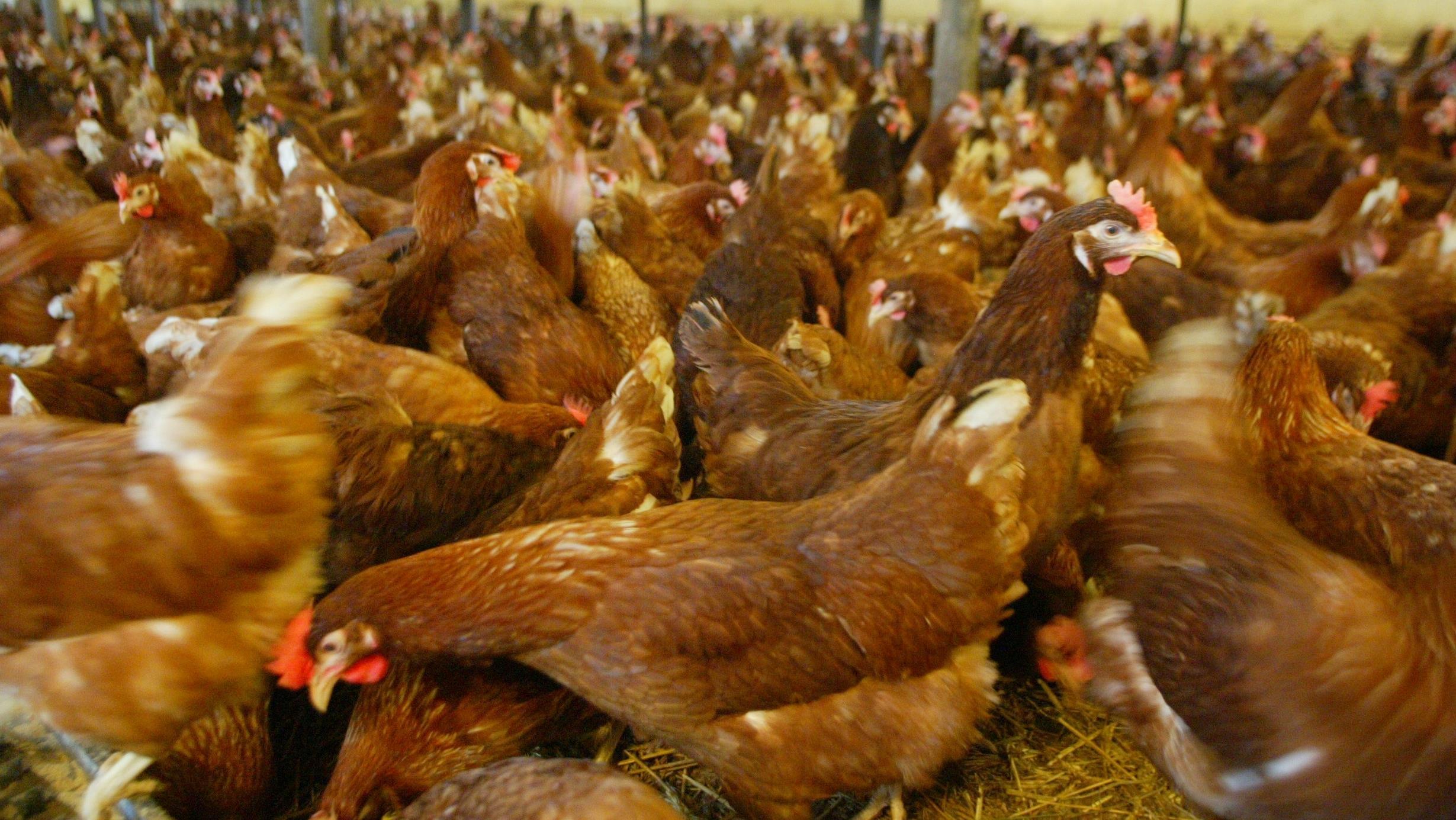 Порода кур для домашних условий 77