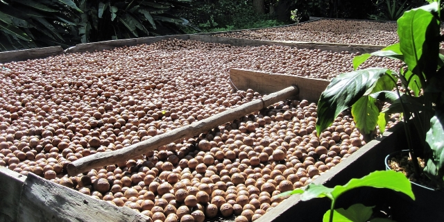 Kenya is set to hold a bi-annual International conference expected to be graced by experts, scholars, entrepreneurs and growers around the world as the world goes nuts over Macadamia.