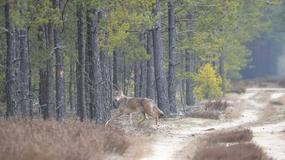 W tych pomorskich lasach możesz spotkać łosie, a nawet wilki