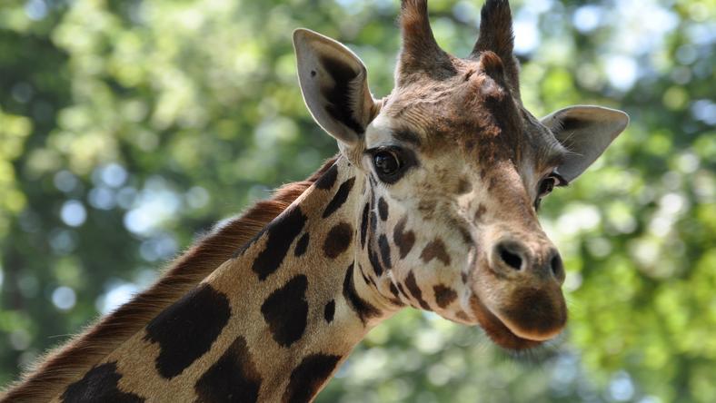 Bajba jutott zsiráfot mentettek egy japán állatkert gondozói /Illusztráció: Northfoto