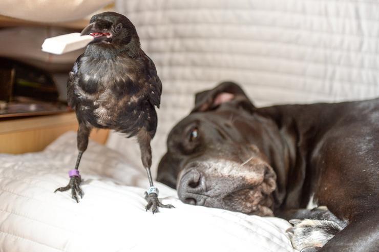 A kutyát láthatóan egyáltalán nem zavarja, hogy egy varjúval kell élnie. / Fotó: Northfoto