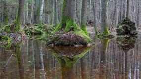 Puszcza Białowieska - ostatni pierwotny las Europy