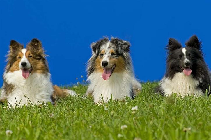 Ranking najmądrzejszych psów świata