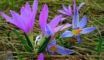 LEPOTA KOJU SMO SKORO UNIŠTILI Prebrojavaju cvetove najugroženije biljke u Srbiji