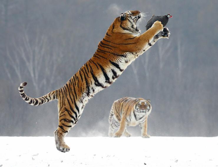 A jó természetfotóknál a legfontosabb dolog az időzítés. Sok fotós néha napokig vár a megfelelő pillanatra, de még így is nehéz azt elkapni. Andrej Gudkovnak mégis sikerült, amikor a kínai harbini tigrisrezervátumban épp akkor kattintotta el a gépét, amikor a hatalmas szibériai tigris a levegőben úszva elkapta repülő prédáját /Fotó: Profmedia-Red Dot