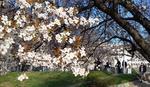 PROLEĆE U FEBRUARU U Beogradu drveće već procvetalo, botaničari objašnjavaju zašto