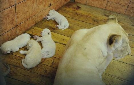 """Posetioci mogu videti Mašine laviće u """"Kući belih lavova"""""""