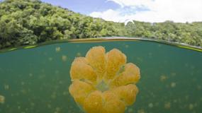 Jellyfish Lake, czyli jezioro meduz w Palau - najlepsze miejsce dla nurków i miłośników przyrody