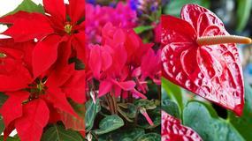 Trujące rośliny doniczkowe:  fiołek alpejski, bluszcz, difenbachia