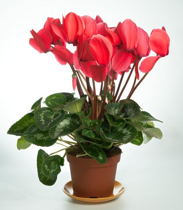 Trujące rośliny doniczkowe: fiołek alpejski, bluszcz ... Gerard Butler From