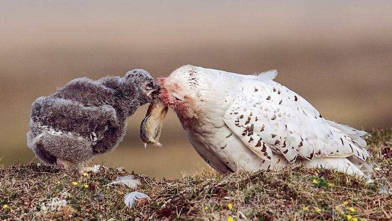 A tojó tartja a zsákmányt, amíg a fiókája csipeget belőle