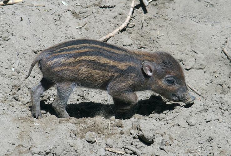 Az újszülött cebui kismalac hamar elindult felfedezni a világot /Fotó: Bagosi Zoltán