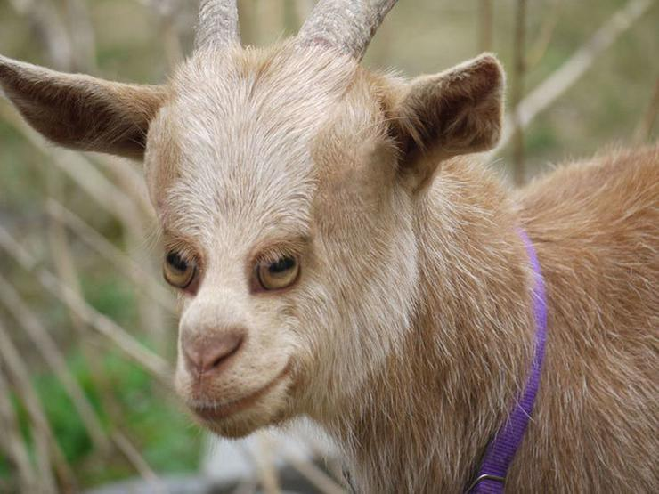Mit szólna, ha így látná meg a kecskét? / Fotó: boredpanda.com
