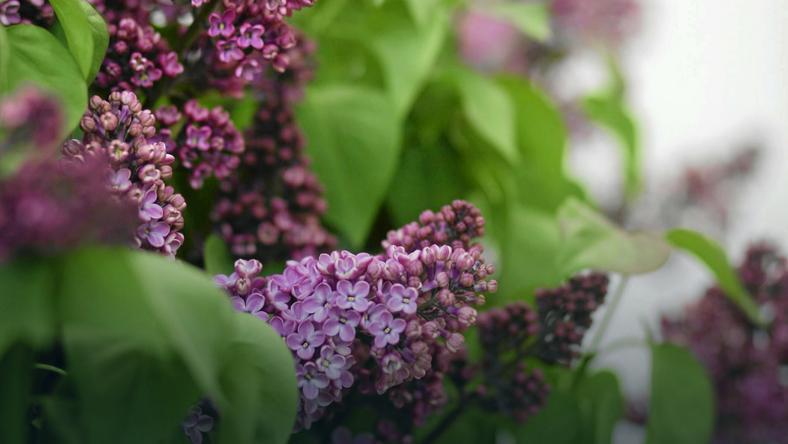 Społeczna akcja sadzenia lilaków w ogrodach