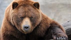 Fałszywy alarm w Beskidach. Niedźwiedziem okazała się kora drzewa