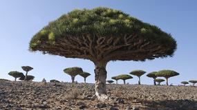 Jemen - Sokotra - wyspy dziwolągów