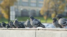 Jak zabezpieczyć balkon przed gołębiami?