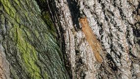 Dlaczego pielgrzymi obgryzali święte drzewo w Cielętnikach koło Częstochowy?