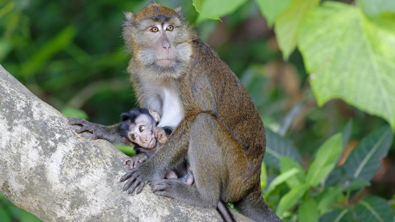 Nem tudja elengedni anyja élettelen testét a majom/ Fotó: Northfoto