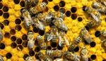 POMOR PČELA U KIKINDI Stradali rojevi u 2.000 košnica
